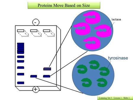 Learning Set 3 : Lesson 1 : Slide 1 Proteins Move Based on Size lactase tyrosinase.