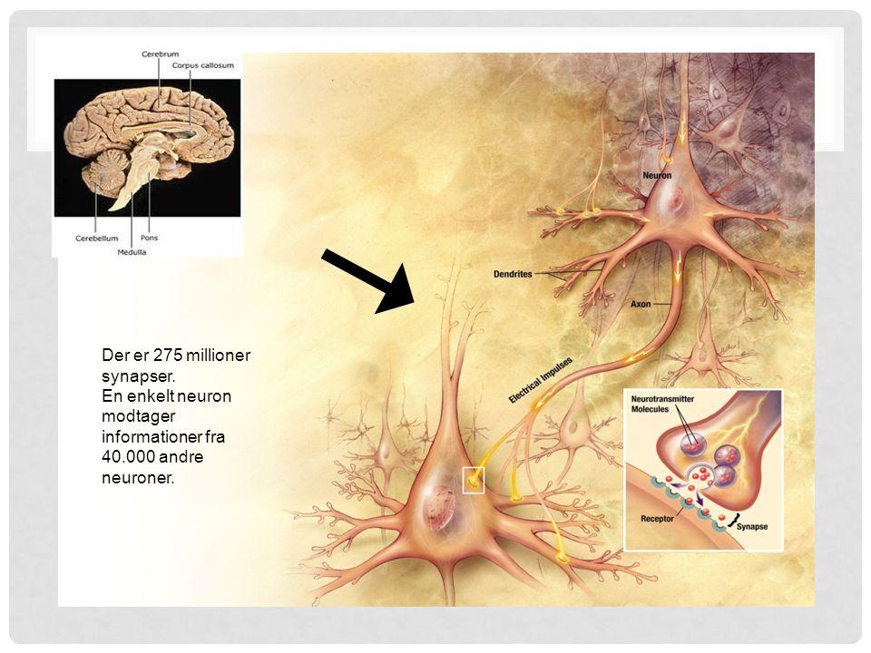 Der er 275 millioner synapser.