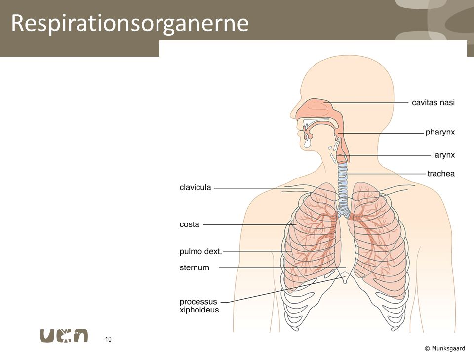 Respirationsorganerne