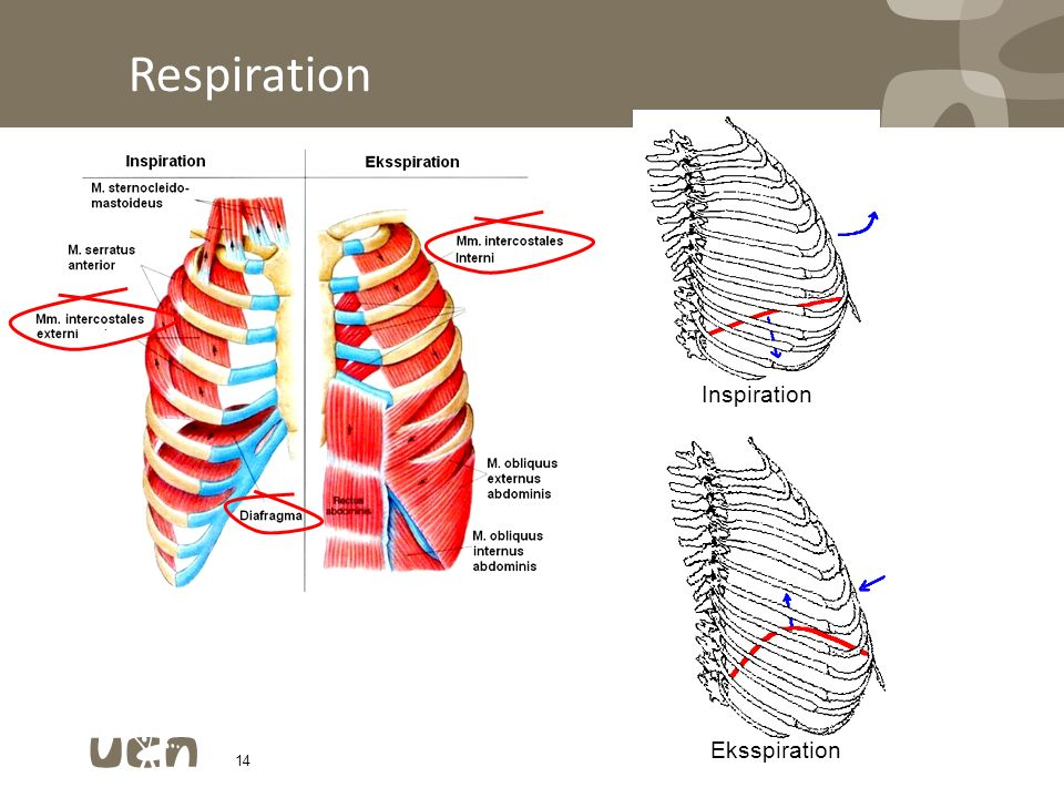 Respiration Inspiration Eksspiration