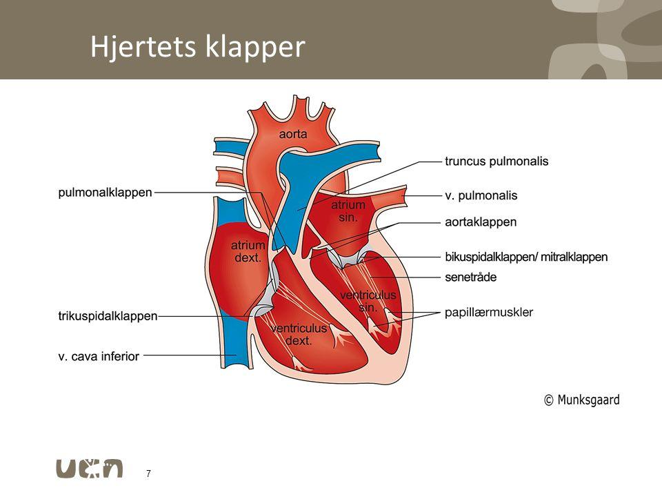 Hjertets klapper Valva aortae Bicuspidalklap