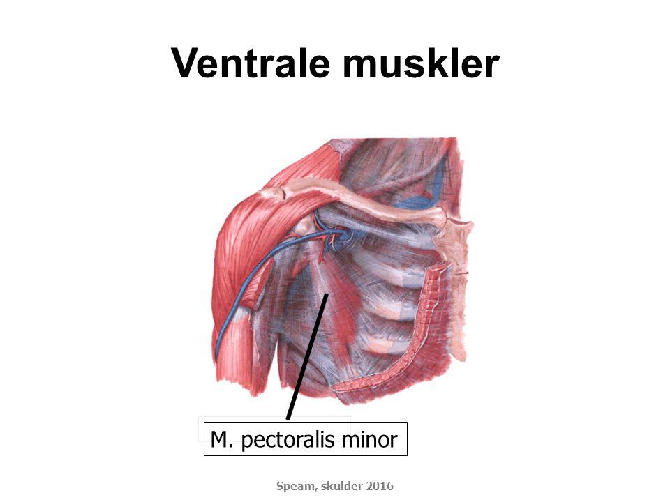 Ventrale muskler M. pectoralis minor DSMM Basiskursus