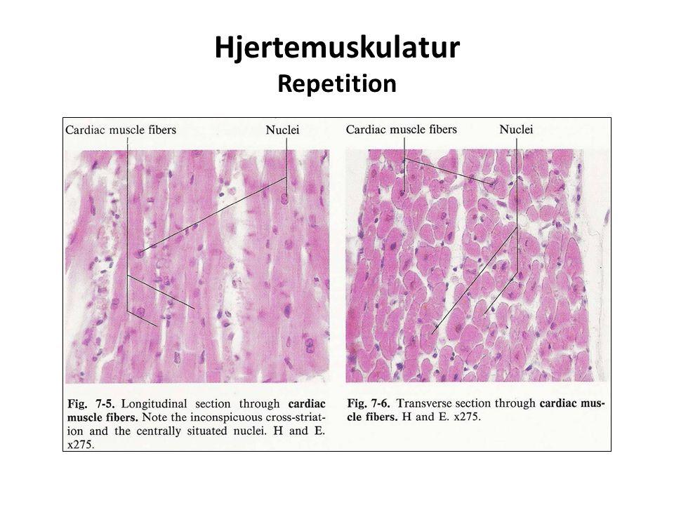 Hjertemuskulatur Repetition