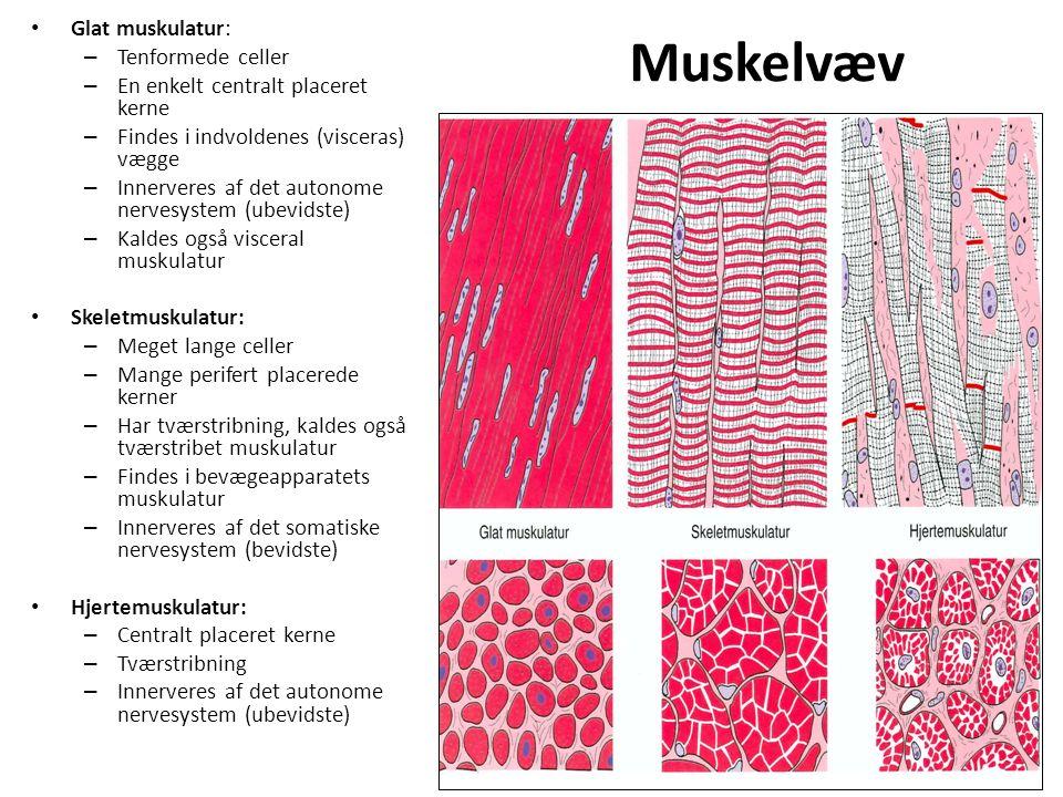 Muskelvæv Glat muskulatur: Tenformede celler