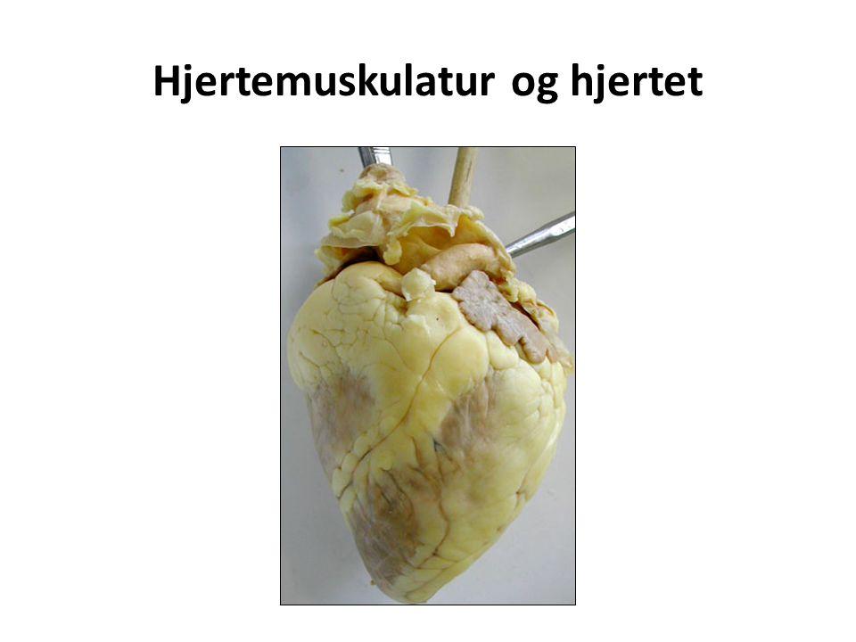 Hjertemuskulatur og hjertet
