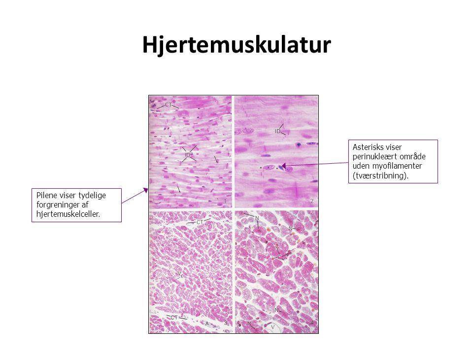 Hjertemuskulatur Asterisks viser perinukleært område uden myofilamenter (tværstribning).