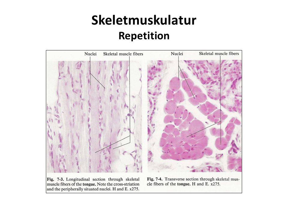 Skeletmuskulatur Repetition