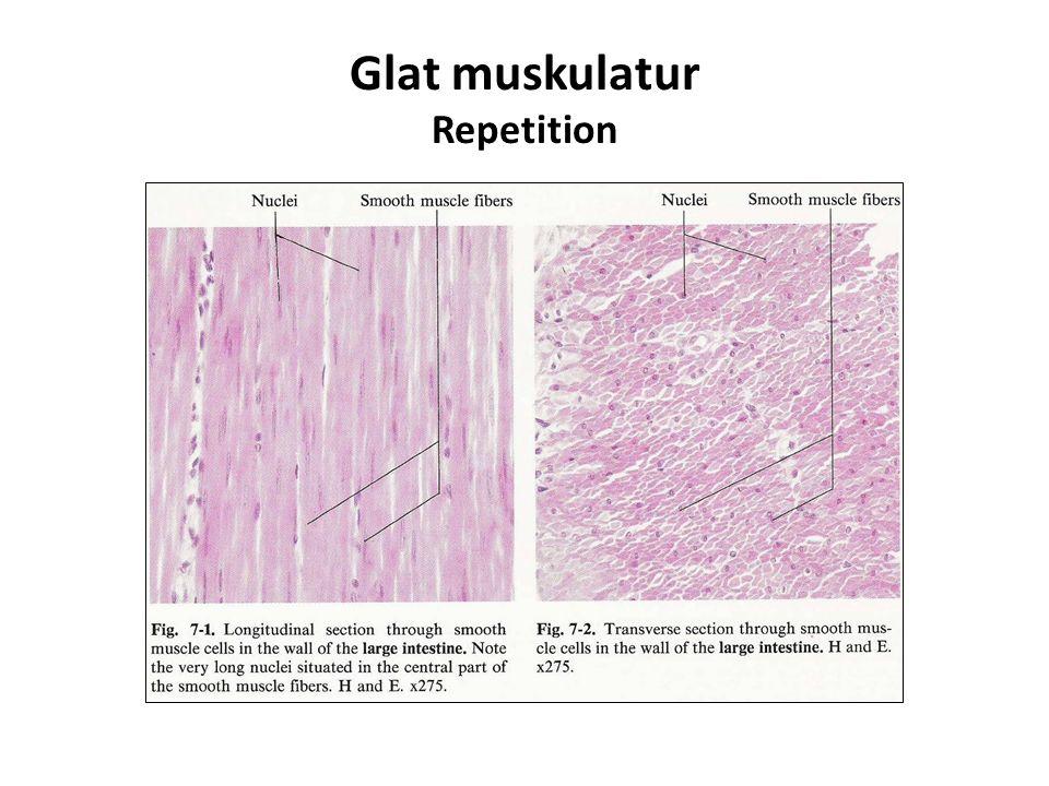Glat muskulatur Repetition
