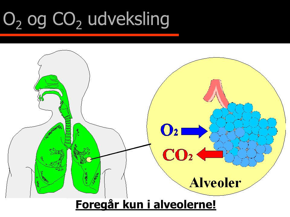 O2 og CO2 udveksling Foregår kun i alveolerne!