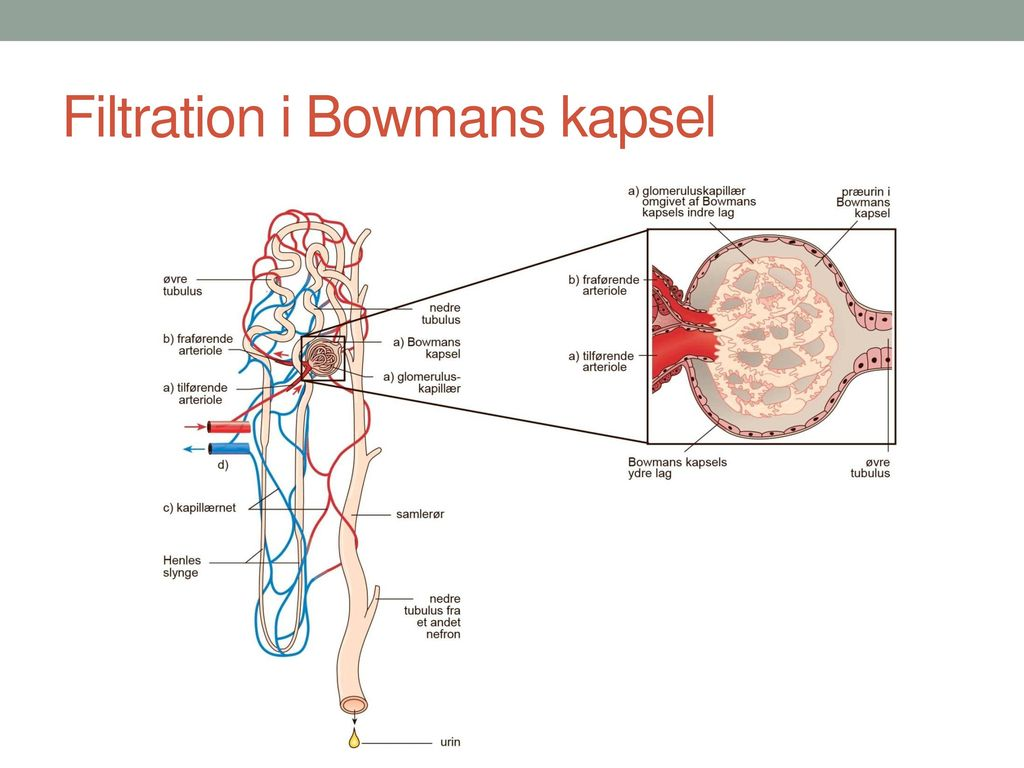 Bowmans kapsel