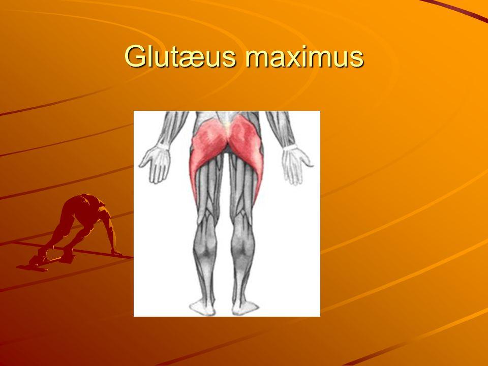Glutæus maximus