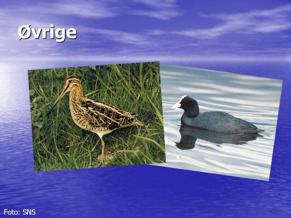 Øvrige De sidste fem arter vi skal omkring er dobbeltbekkasinen og blishønen, og de tre mågearter, sildemåge, sølvmåge og svartbag.