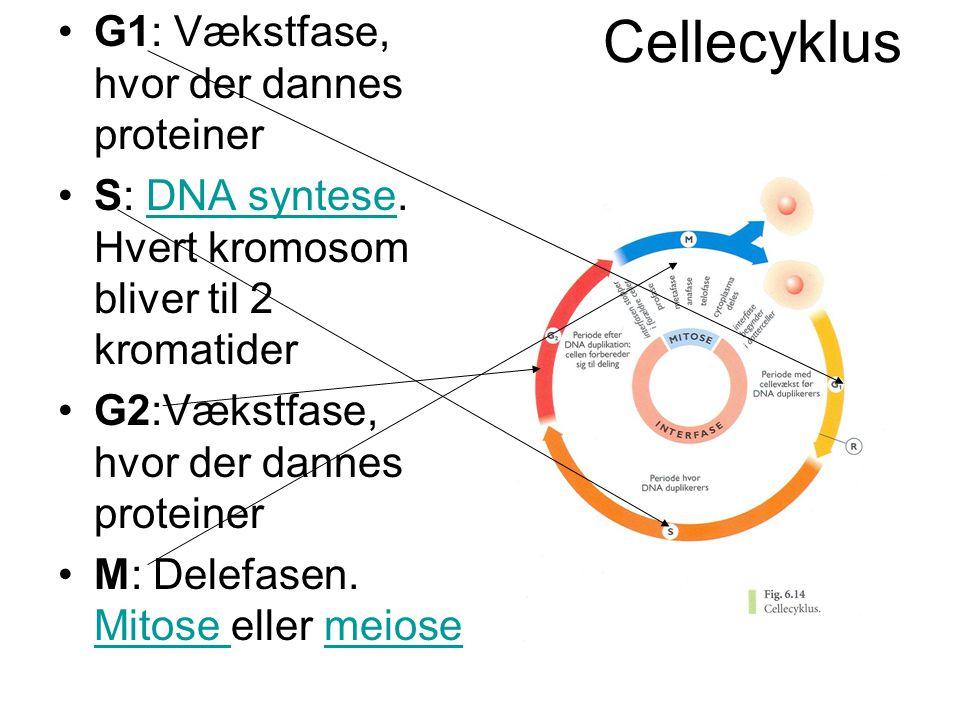 Cellecyklus G1: Vækstfase, hvor der dannes proteiner