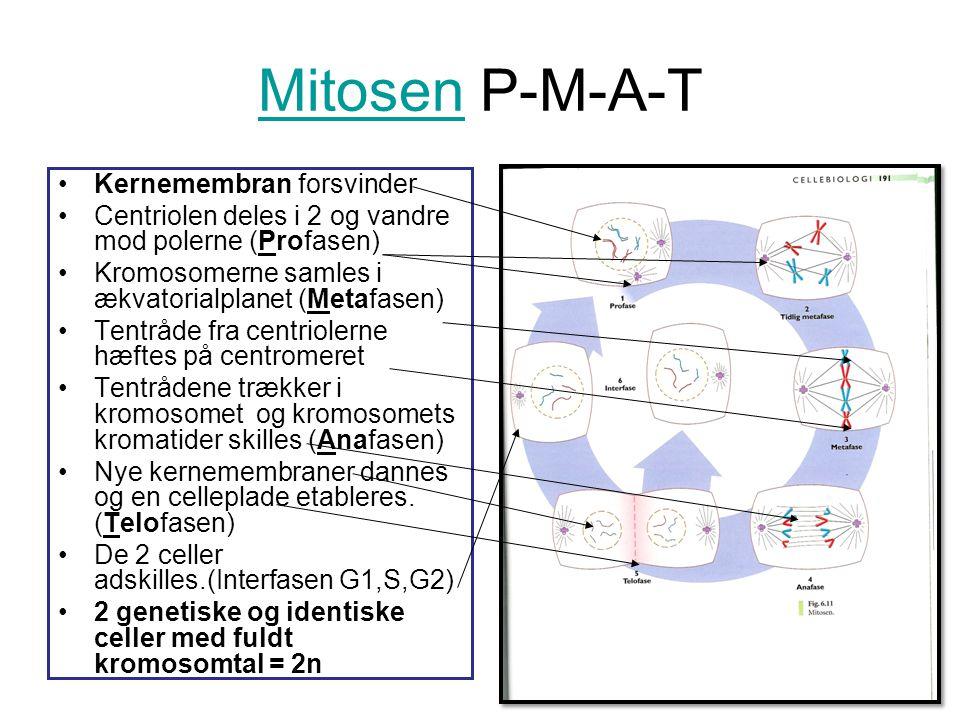 Mitosen P-M-A-T Kernemembran forsvinder