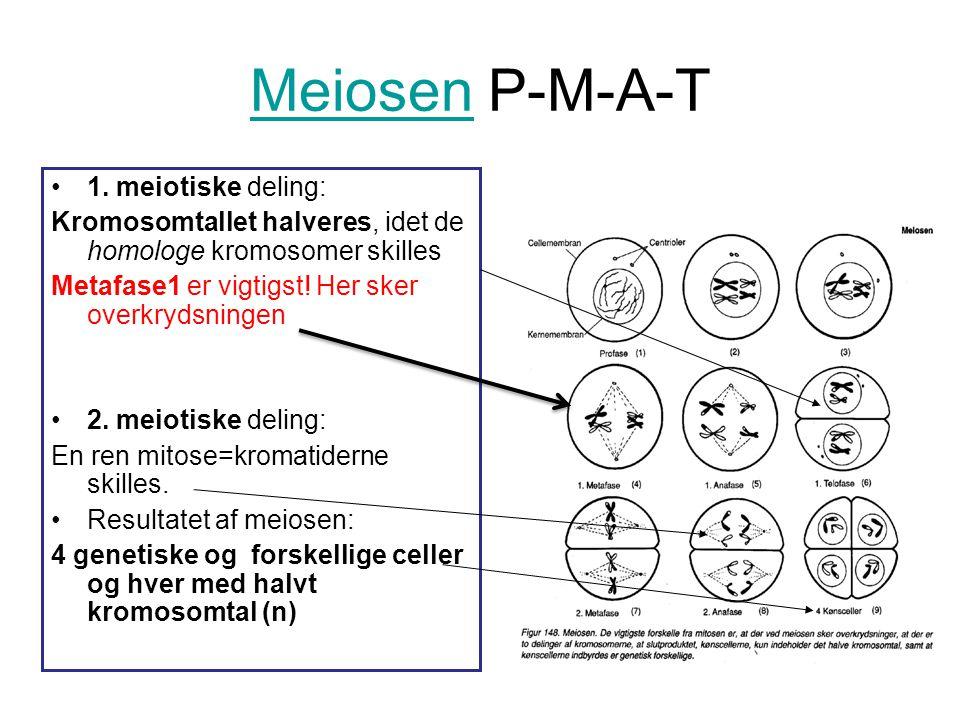 Meiosen P-M-A-T 1. meiotiske deling: