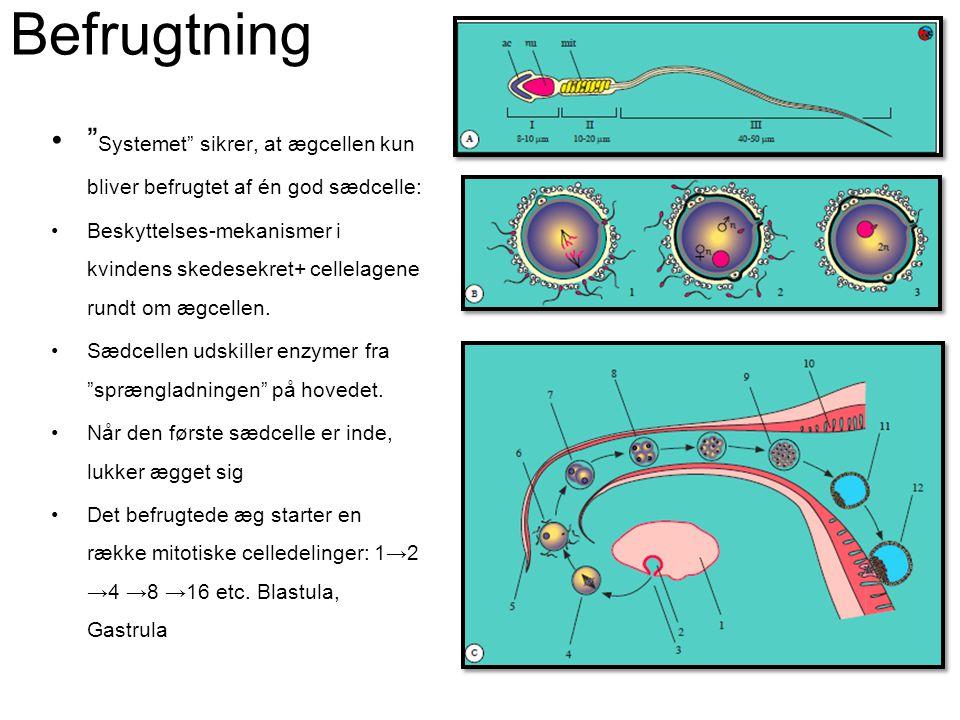 Befrugtning Systemet sikrer, at ægcellen kun bliver befrugtet af én god sædcelle: