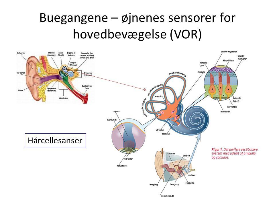 Buegangene – øjnenes sensorer for hovedbevægelse (VOR)
