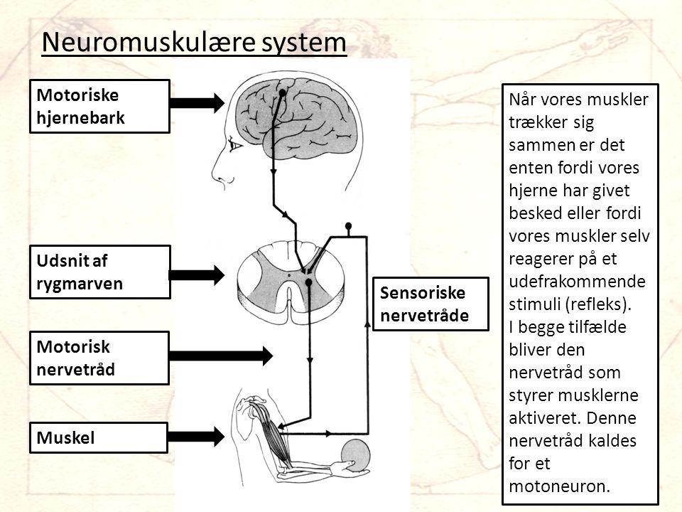 Neuromuskulære system