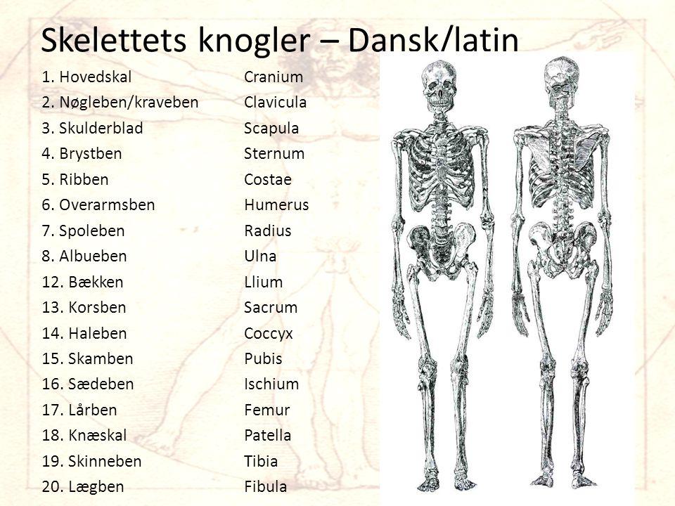 Skelettets knogler – Dansk/latin