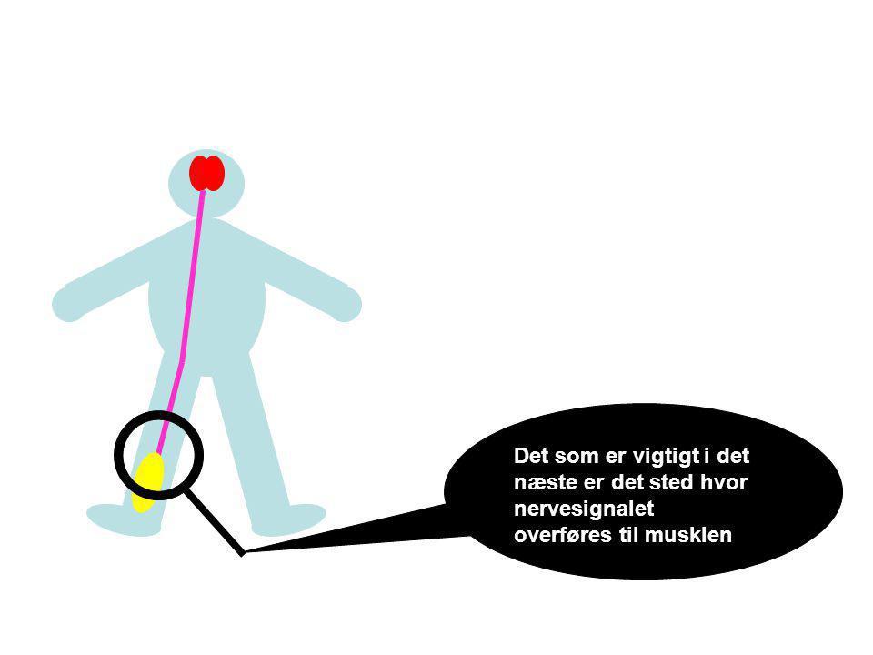 Det som er vigtigt i det næste er det sted hvor nervesignalet overføres til musklen
