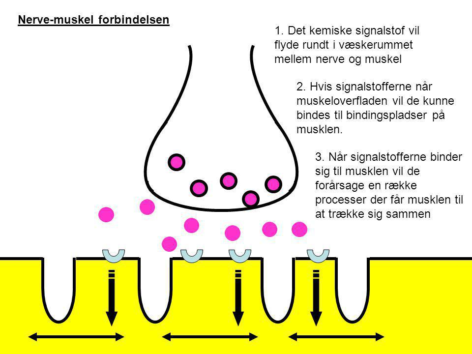 Nerve-muskel forbindelsen