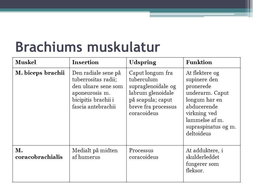 Brachiums muskulatur Muskel Insertion Udspring Funktion
