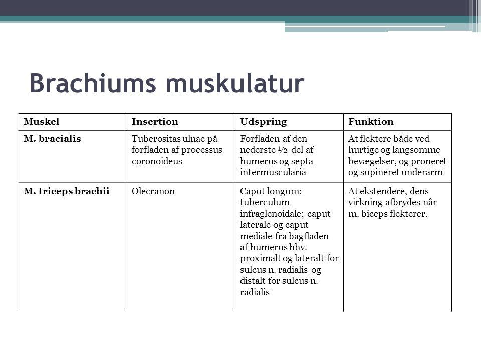 Brachiums muskulatur Muskel Insertion Udspring Funktion M. bracialis