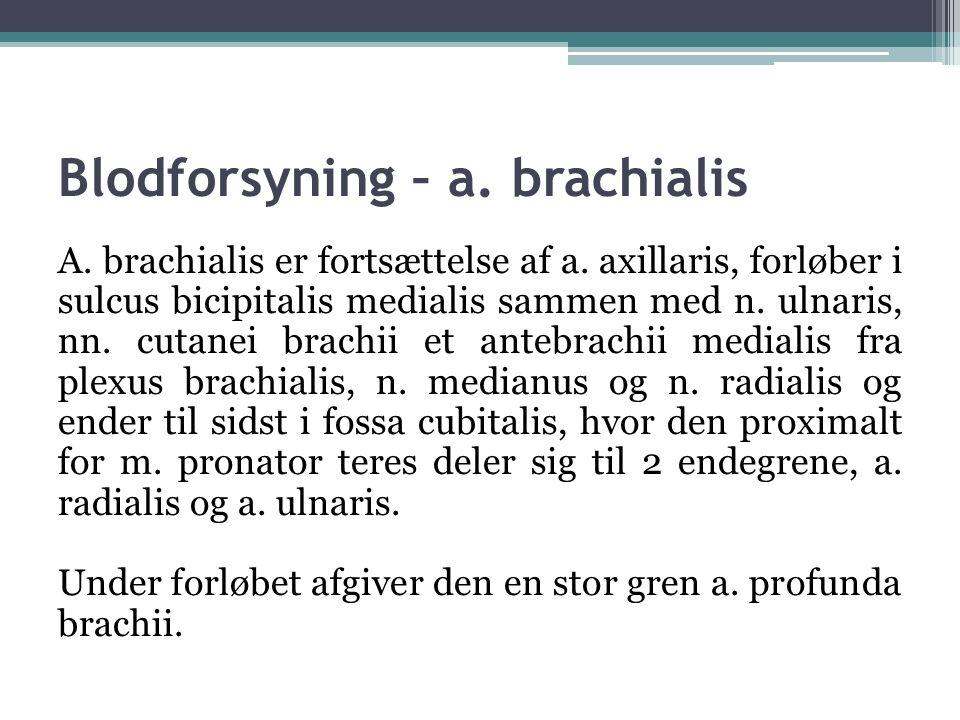 Blodforsyning – a. brachialis