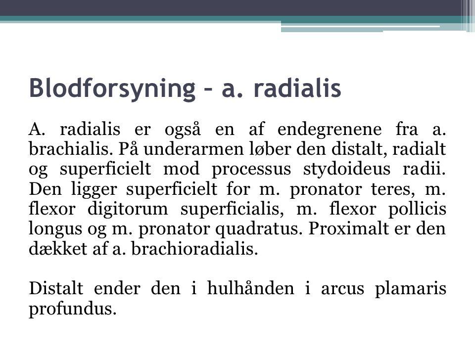 Blodforsyning – a. radialis