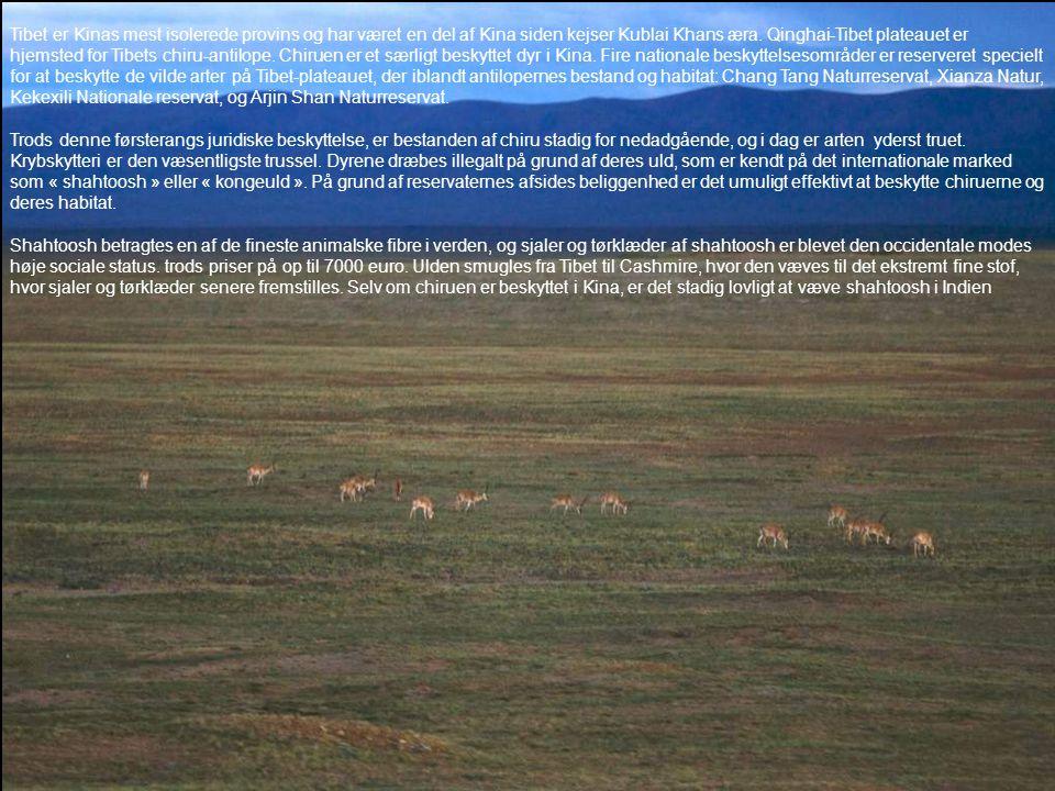 Tibet er Kinas mest isolerede provins og har været en del af Kina siden kejser Kublai Khans æra. Qinghai-Tibet plateauet er hjemsted for Tibets chiru-antilope. Chiruen er et særligt beskyttet dyr i Kina. Fire nationale beskyttelsesområder er reserveret specielt for at beskytte de vilde arter på Tibet-plateauet, der iblandt antilopernes bestand og habitat: Chang Tang Naturreservat, Xianza Natur, Kekexili Nationale reservat, og Arjin Shan Naturreservat.