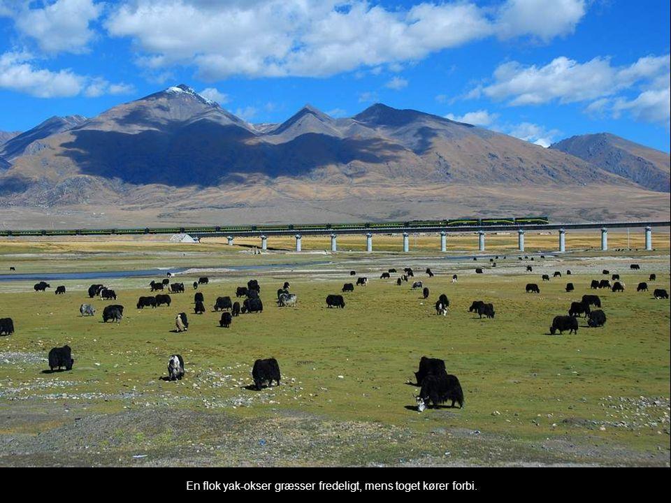 En flok yak-okser græsser fredeligt, mens toget kører forbi.