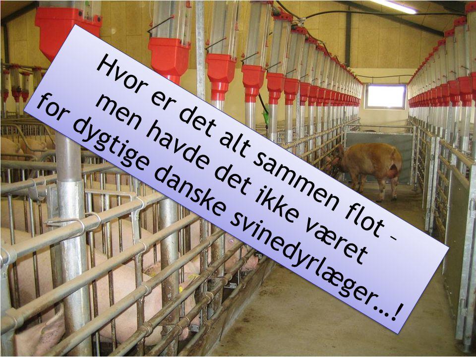 Hvor er det alt sammen flot – for dygtige danske svinedyrlæger…!