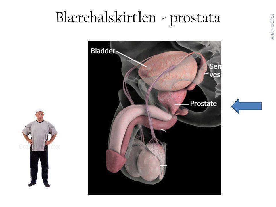 Blærehalskirtlen - prostata