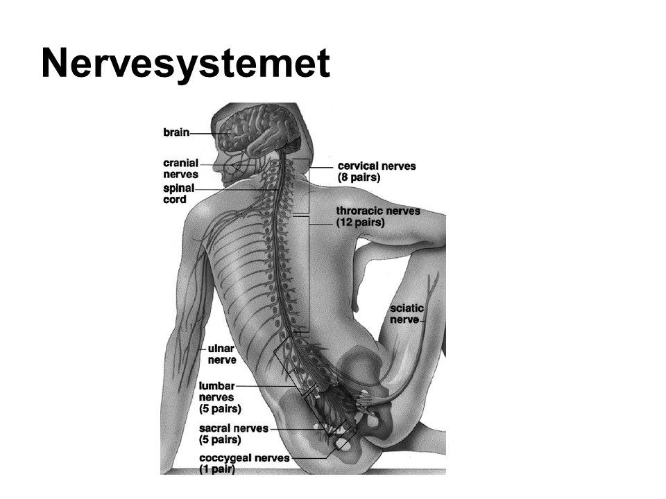 Nervesystemet Centralnervesystemet CNS og perifere nervesystem PNS