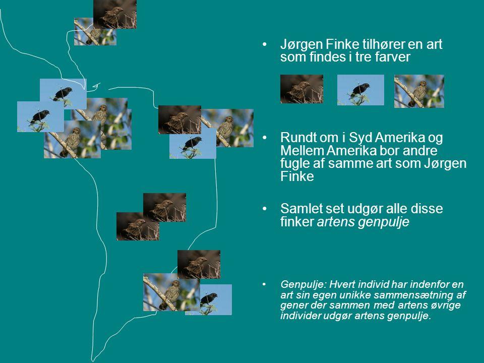 Jørgen Finke tilhører en art som findes i tre farver