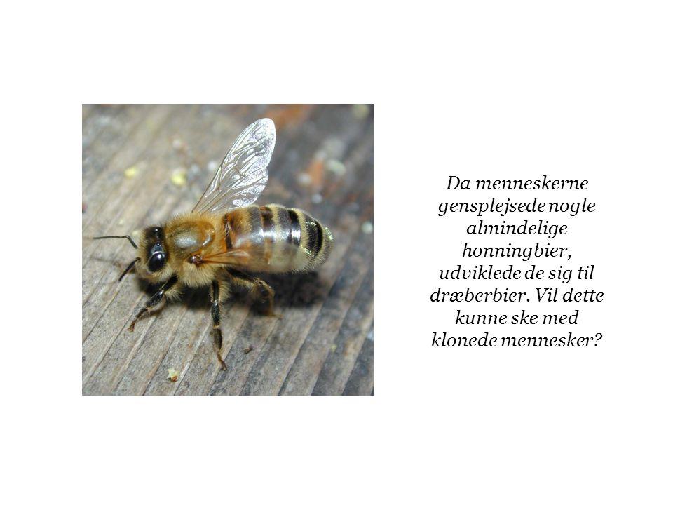 Da menneskerne gensplejsede nogle almindelige honningbier, udviklede de sig til dræberbier.