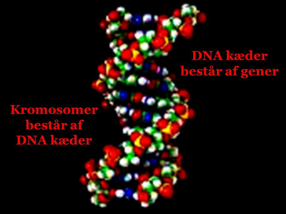 DNA kæder består af gener Kromosomer består af DNA kæder
