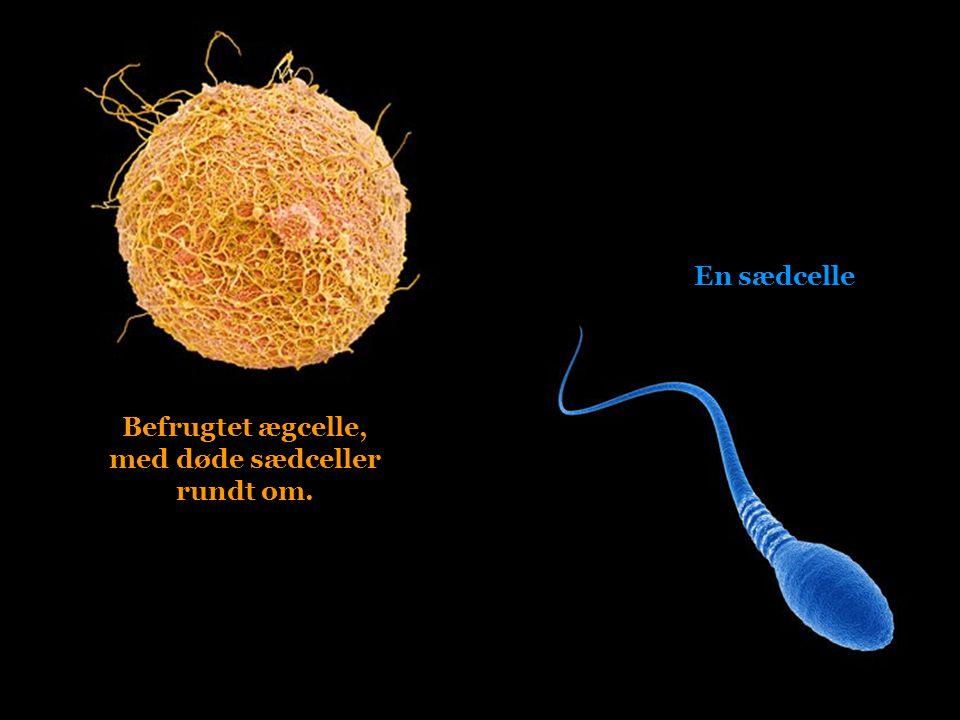 Befrugtet ægcelle, med døde sædceller rundt om.