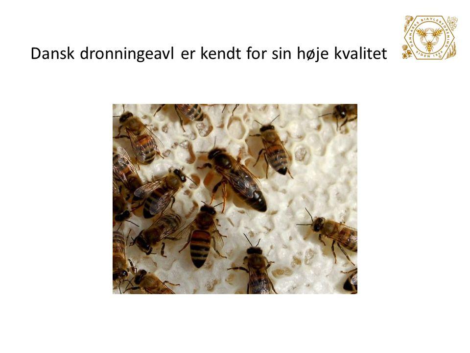 Dansk dronningeavl er kendt for sin høje kvalitet