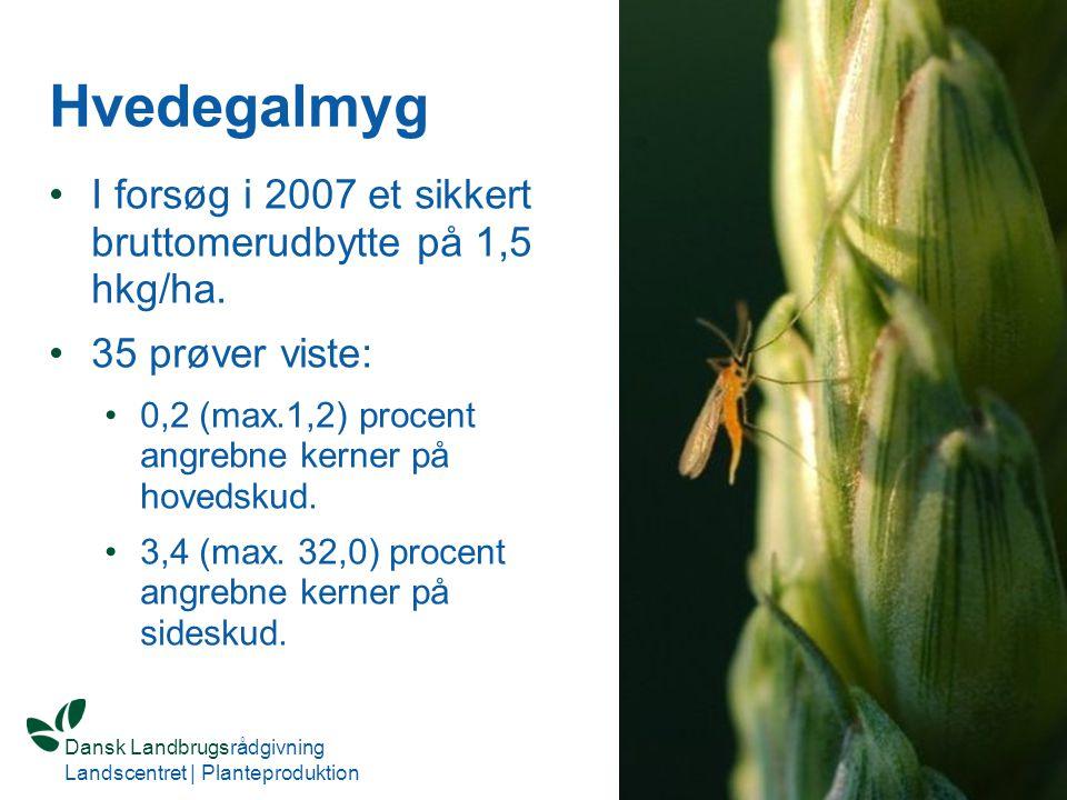 Hvedegalmyg I forsøg i 2007 et sikkert bruttomerudbytte på 1,5 hkg/ha.