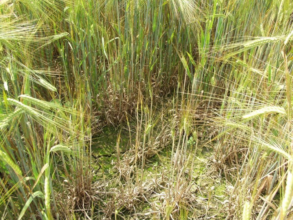 I vinterbyg udvintrer mange af de angrebne planter, og udbyttetabet i de angrebne pletter nærmer sig ofte 100 procent.