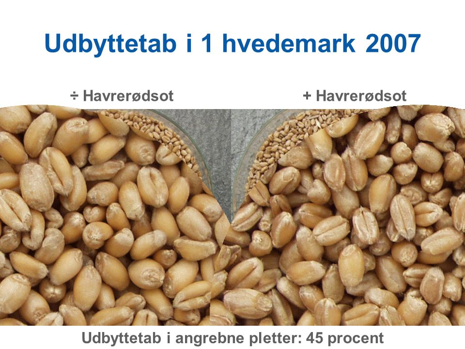 Udbyttetab i 1 hvedemark 2007