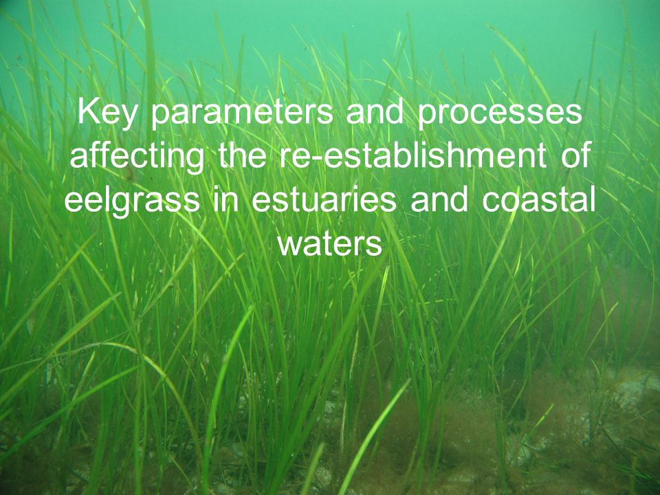 Key parameters and processes affecting the re-establishment of eelgrass in estuaries and coastal waters