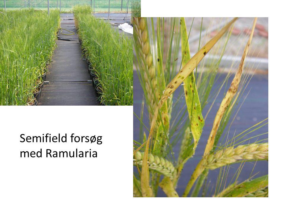 Semifield forsøg med Ramularia