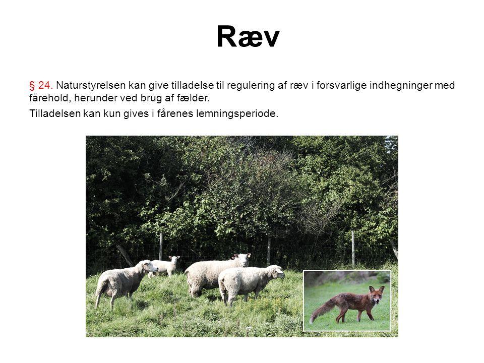 Ræv § 24. Naturstyrelsen kan give tilladelse til regulering af ræv i forsvarlige indhegninger med fårehold, herunder ved brug af fælder.