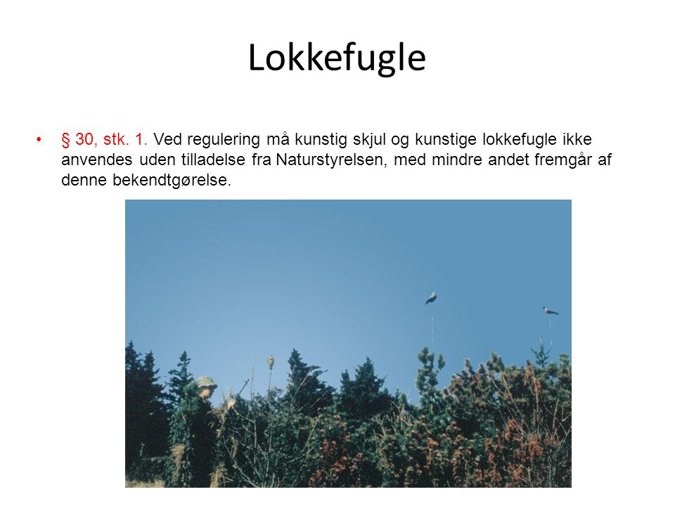 Lokkefugle