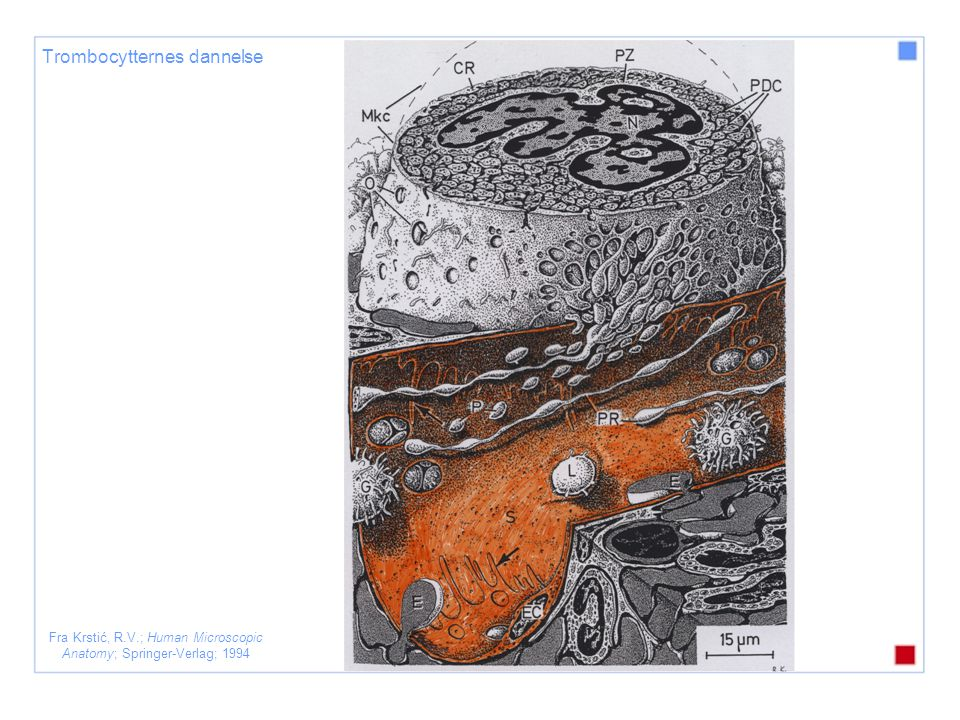 Fra Krstić, R.V.; Human Microscopic Anatomy; Springer-Verlag; 1994