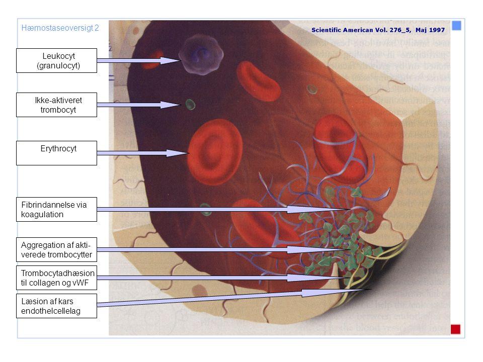 Leukocyt (granulocyt)