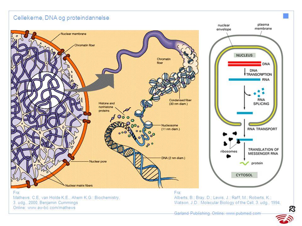 Cellekerne, DNA og proteindannelse
