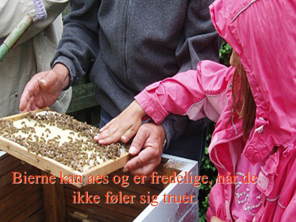 Bierne kan aes og er fredelige, når de ikke føler sig truer.